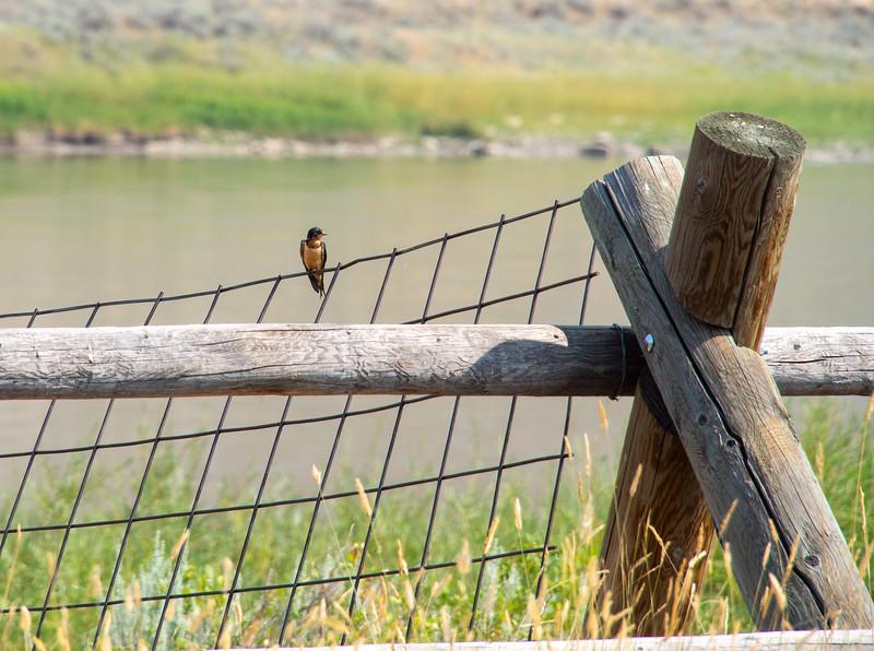 Upper Missouri River Breaks Canoe Trip-Barn Swallow