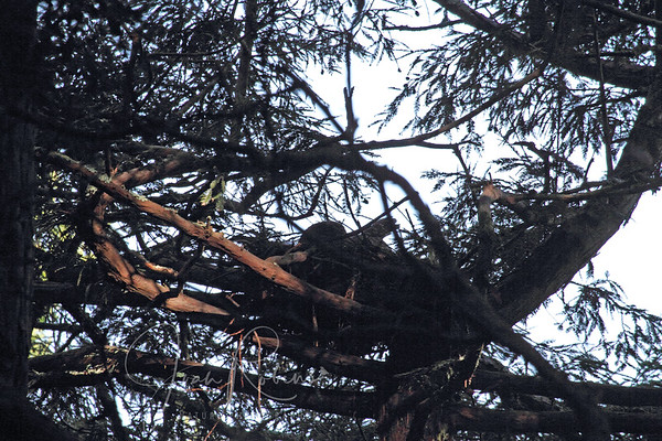 Spotted Owls Marin County 2012