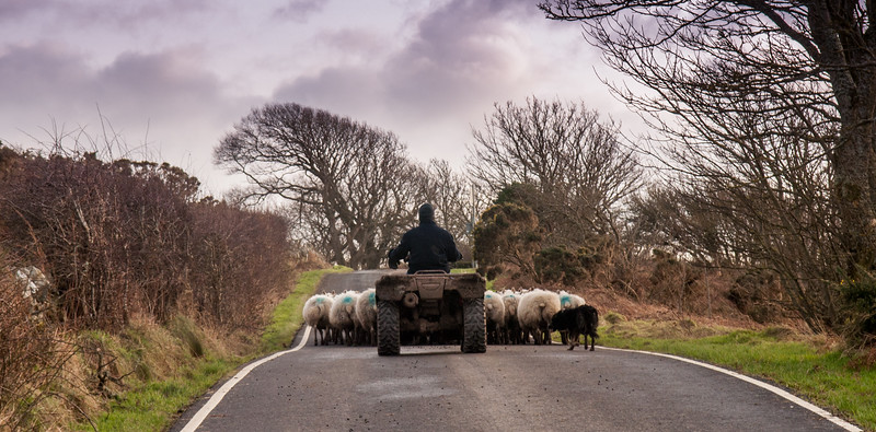Rounding up sheep on the Isle of Bute