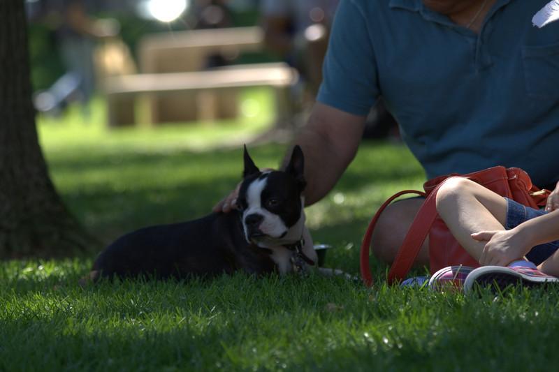 boston terrier oct 2010 148.jpg