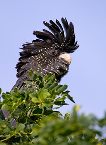 Red-tailed Black Cockatoo (Calyptorhynchus banksii)