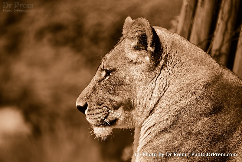 A Lioness in Basel Zoo Switzerland by Dr Prem