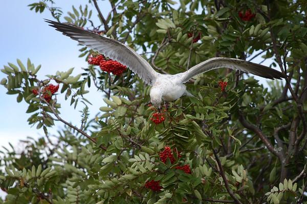 seagull_eating_mountain_ash_berries_20120.jpg