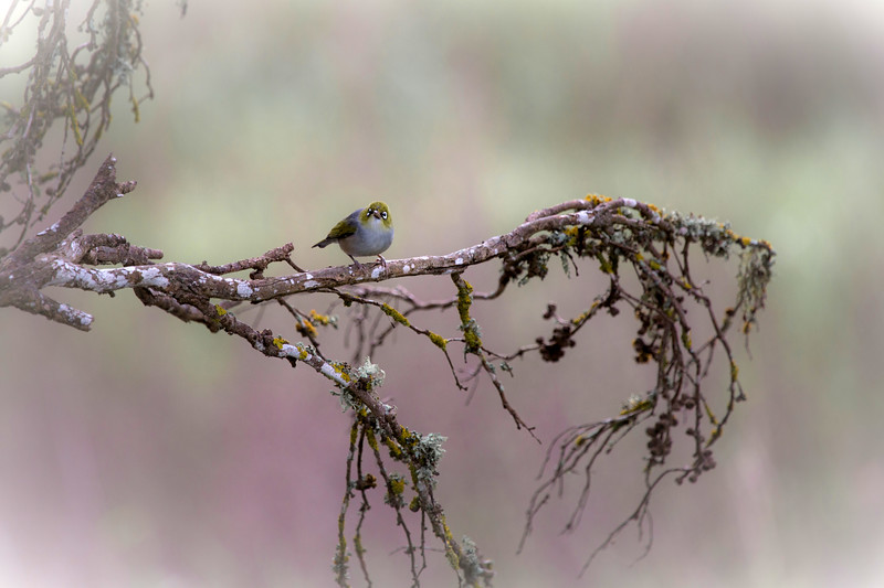 Silvereye on a misty Tasmanian morning