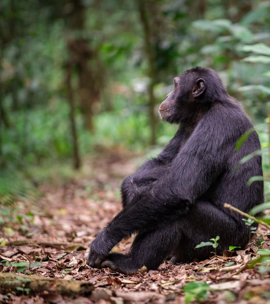 Uganda_T_Chimps-76.jpg