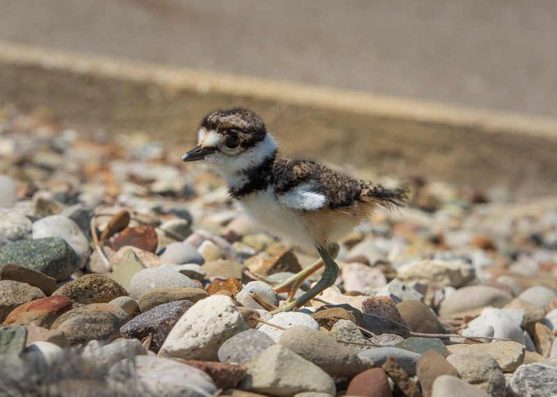 Killdeer-hatchling-0daysold-firststeps2.jpg