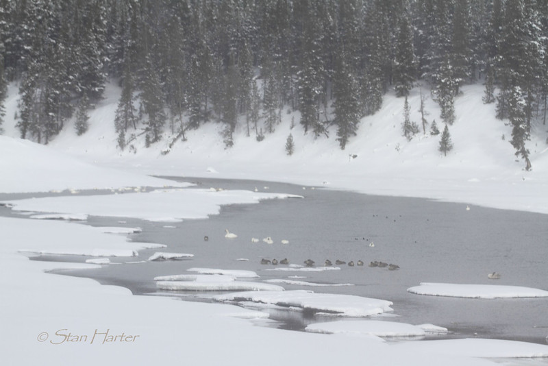 Waterfowl on Icy Yellowstone River.jpg
