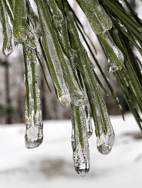 Pine Needles in Ice