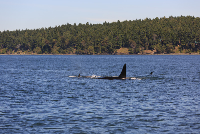 2013_06_04 Orcas Whale Watching 425.jpg