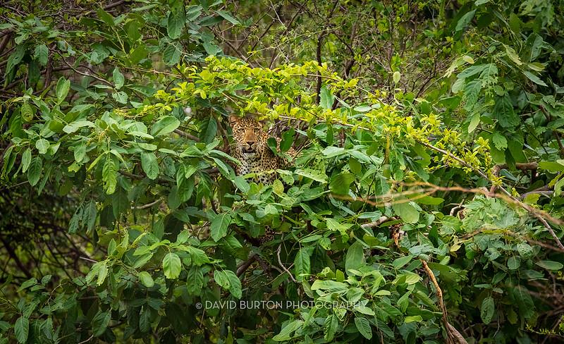 Mfuwe_leopard_7225cc2fx-web.jpg