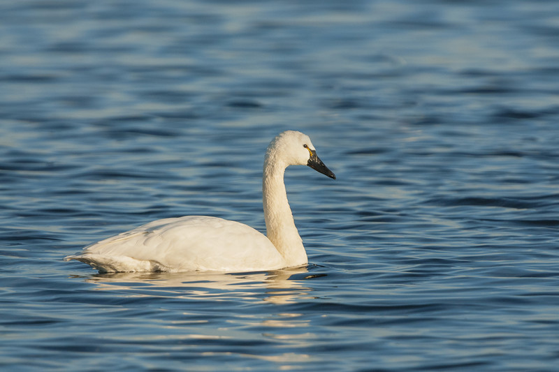 Tundra Swan Five.jpg
