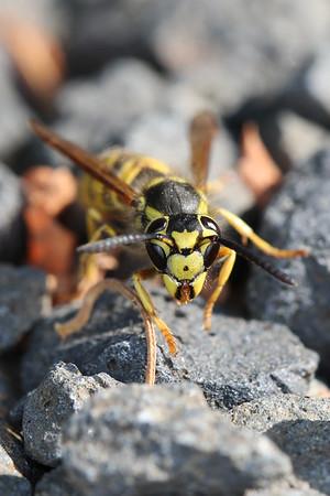 Bees, Wasps, Ants, Sawflies (Hymenoptera)