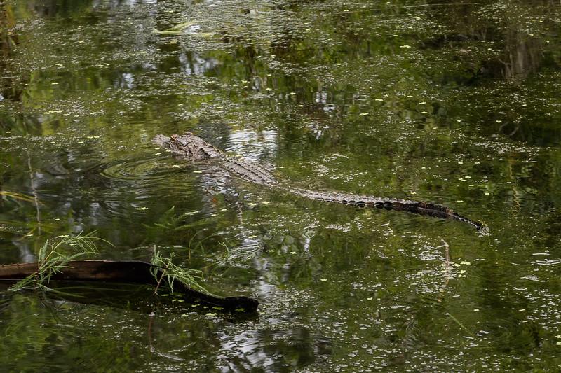 Louisiana Alligator...