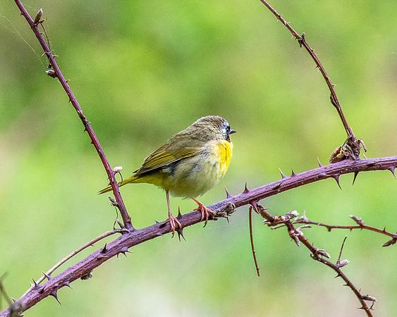 Pocono Birding