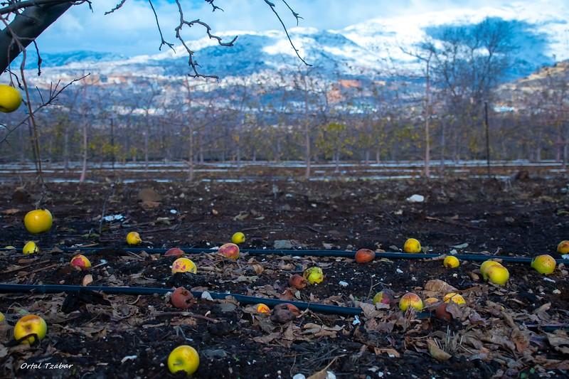 תפוחי החרמון2.jpg