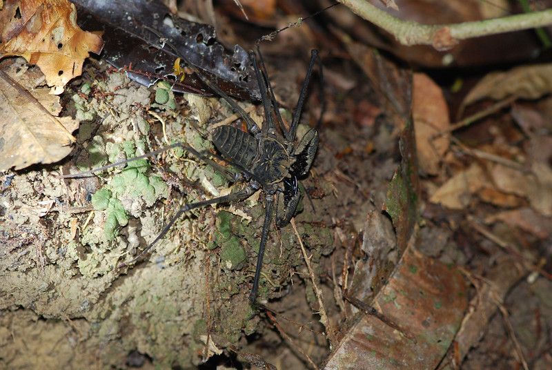 Tailless Whip-Scorpion (Amblypygid) Guyana, Rainforest floor, South America, 2011 by A.K.