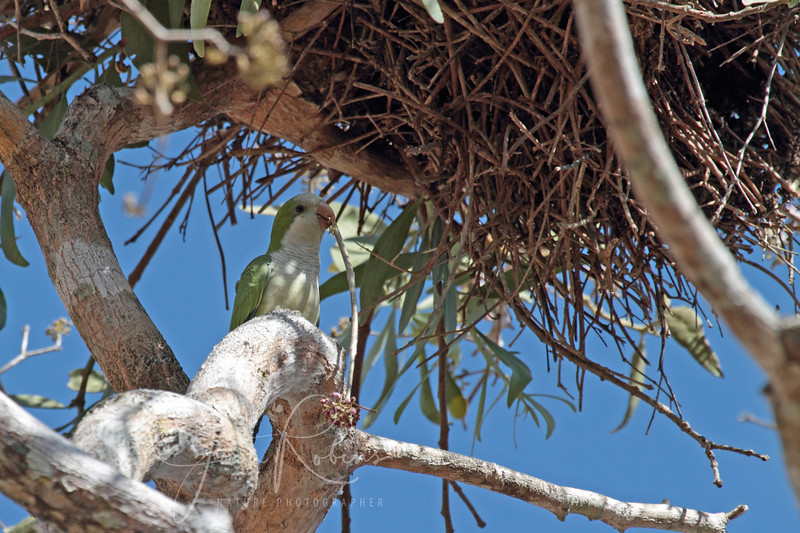 Monk Parakeet contributing to the communal nest.