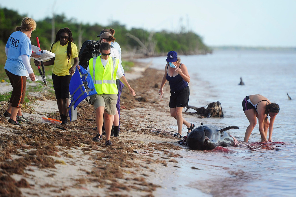 . After conducting a necropsy volunteers and staff from NOAA, FWC, MMC wash bloodied hands in the Gulf of Mexico on a dead pilot whale Wednesday, Dec. 4, 2013 at Highland Beach in The Everglades of Florida. Six dead pilot whales were found earlier today in a remote part of the park, part of a pod of 51 whales facing an uncertain future. Four pilot whales have had to be euthanized. Federal biologists report that 46 pilot whales are alive and swimming free. (AP Photo/Naples Daily News, Corey Perrine)