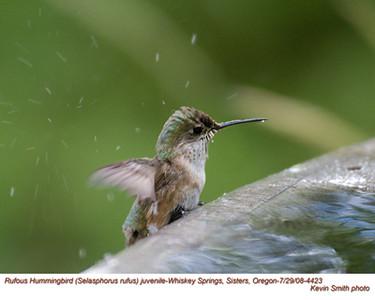 RufousHummingbirdJ4423.jpg