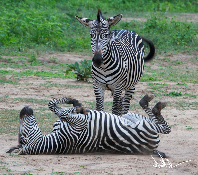 ZebraS-12.jpg