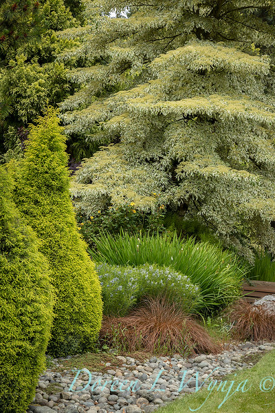 Juniperus communis - Amsonia hubrichtii - Carex flagellifera - Cornus controversa landscape_6919.jpg