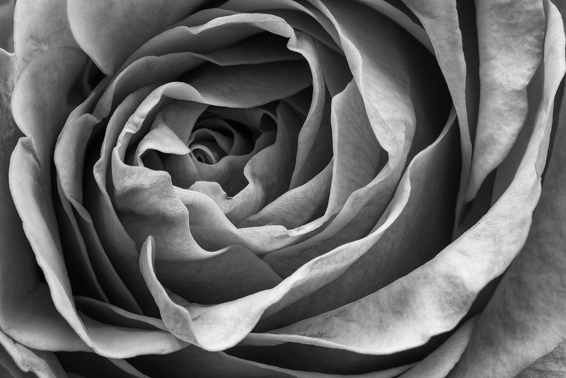 rose-02-bw.jpg