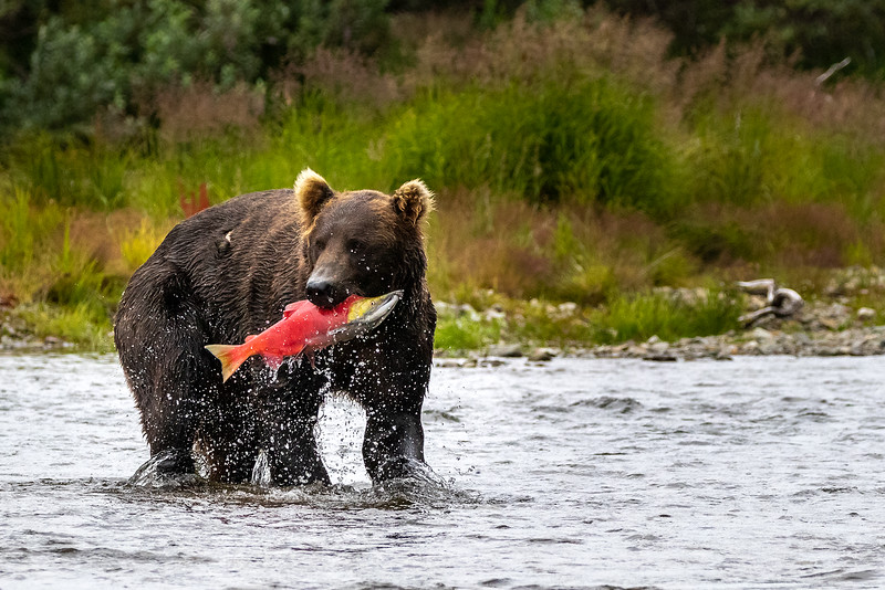 132._Linda Helvie.1.Bear and Fish.jpg