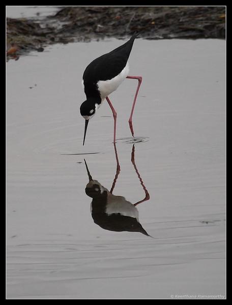Black-necked Stilt, Famosa Slough, San Diego County, California, December 2008