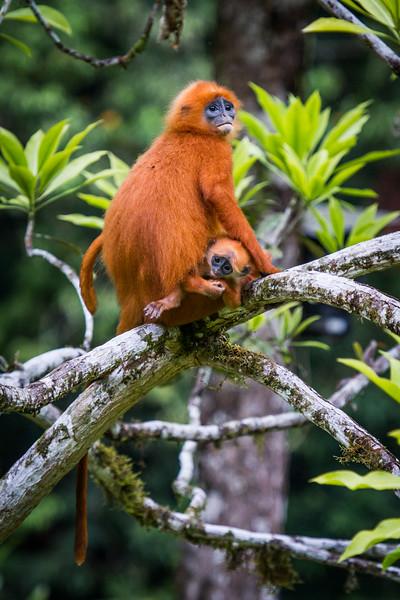 Red Leaf Monkey (Presbytis rubicunda), Mother and child, Danum Valley, Borneo