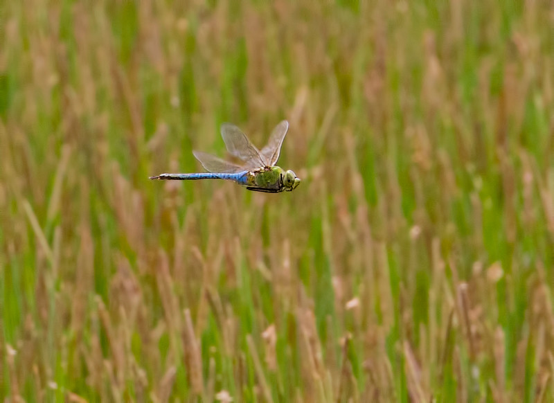 Common Green Darner, male, Summit Bridge Ponds