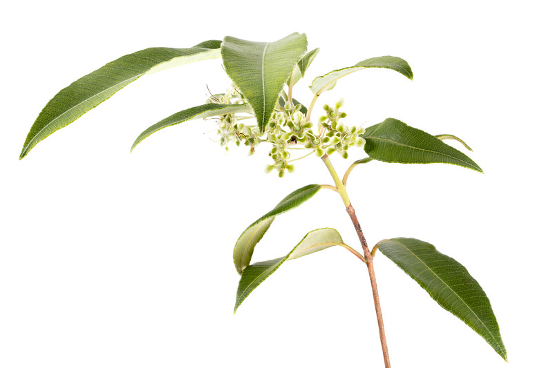 lemon myrtle, finished blossoms 15p.jpg