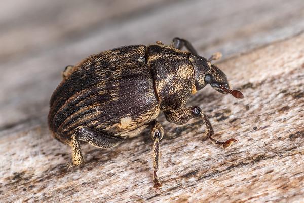 Psepholax sulcatus