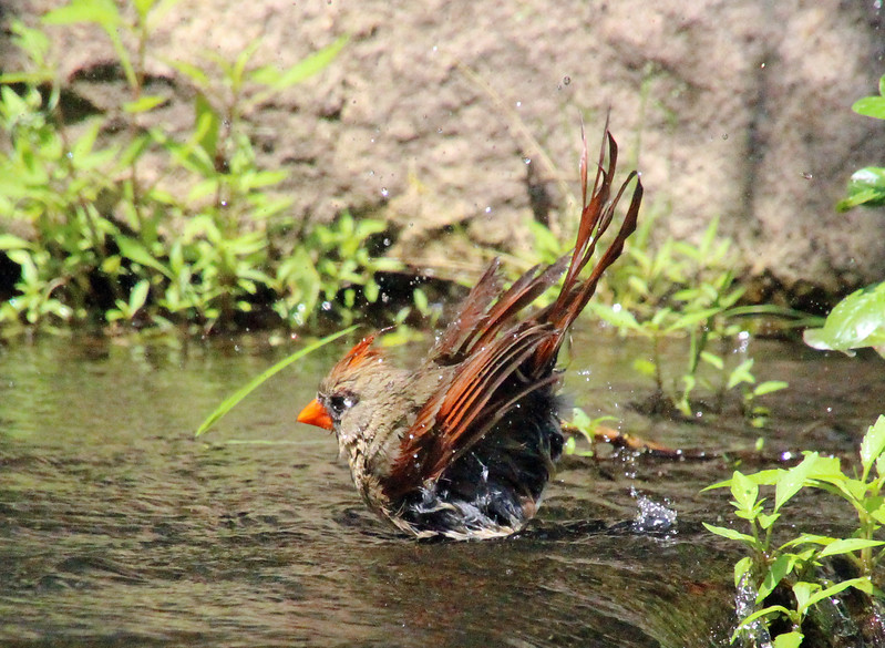 Cardinal bathing 4