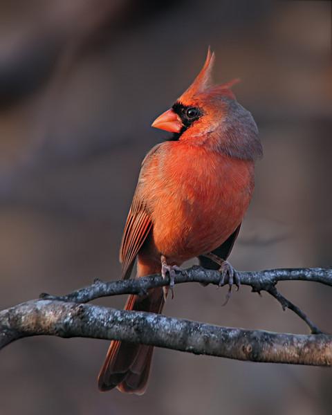 cardinal_9334e.jpg