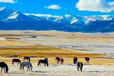 Winter Grazing in South Park, Colorado