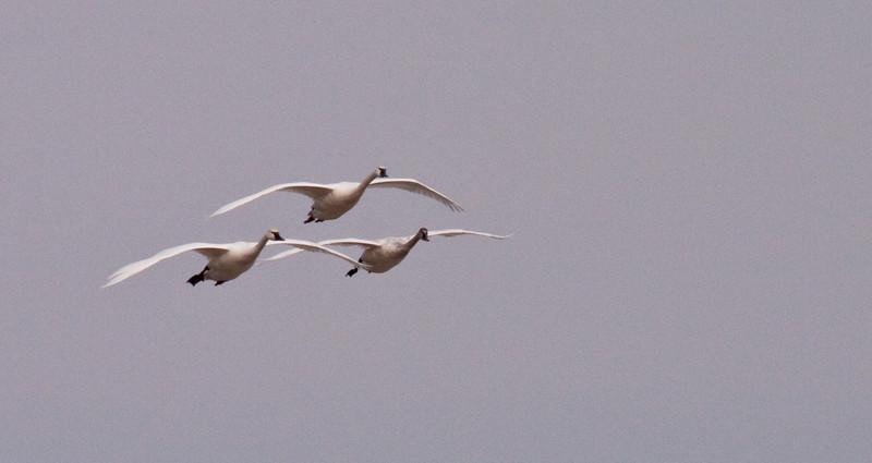 2011 swan migration aylmer (44 of 51).jpg