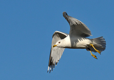 Gull - Ring-billed Gull