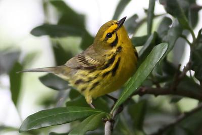 Warbler, Prairie