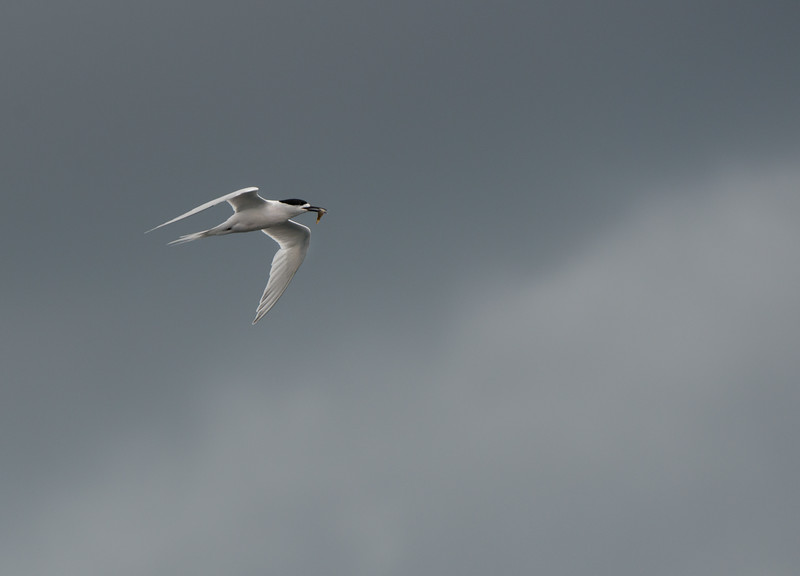 White-fronted Tern, Stewart Island Pelagic, SI, NZ, Jan 2013.jpg