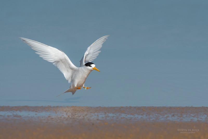 Fairy Tern, Lake Wollumboola, NSW, Nov 2014.jpg