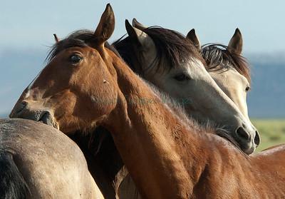 Wild Horses/Mustangs