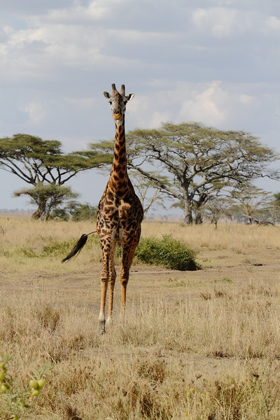 Giraffe heading our Way.JPG