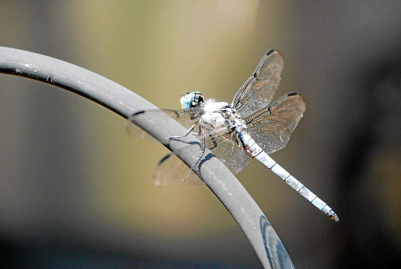 Dragon_fly_02.jpg