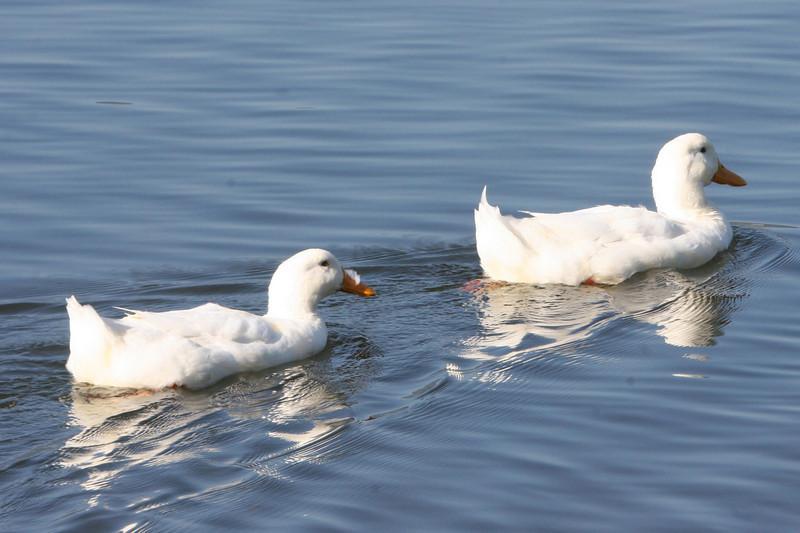 white duck couple on Lake Junaluska, NC