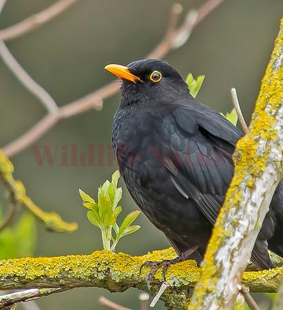 Blackbird, (Turdus merula)