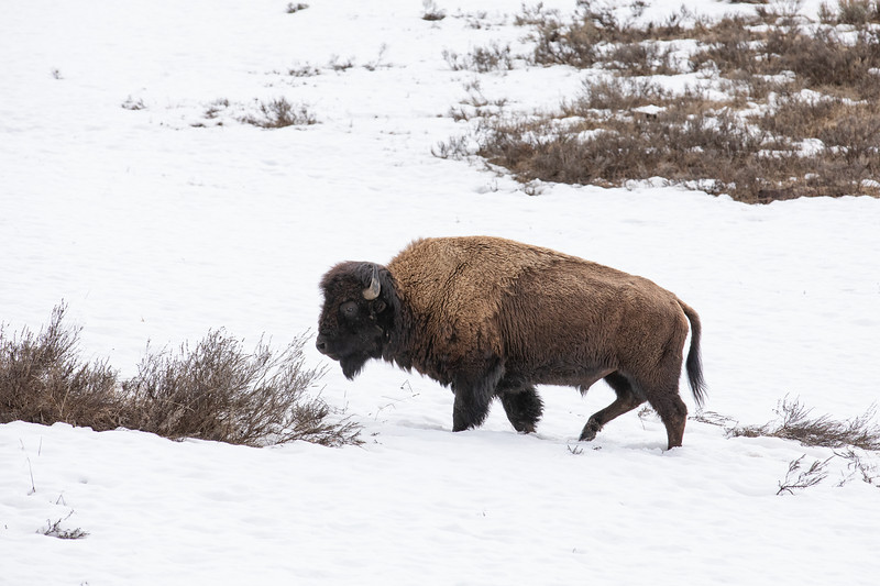 WVWS_Yellowstone-2546.jpg