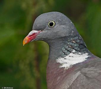 Duer / Pigeons