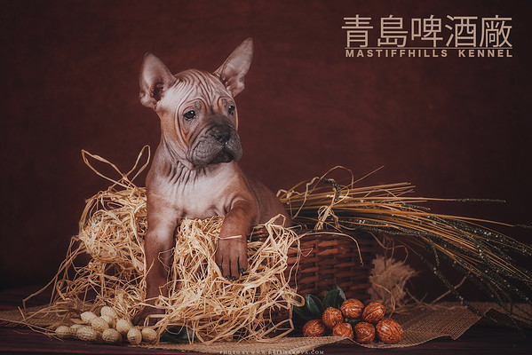 Chinese Chongqing Dog