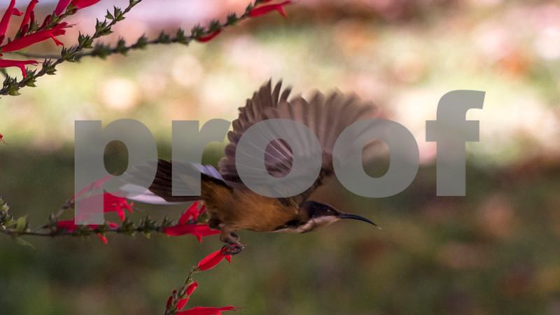 flying sap eater.jpg