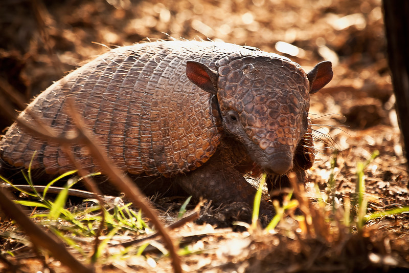 ARMADILLO CLOSE-UP.jpg